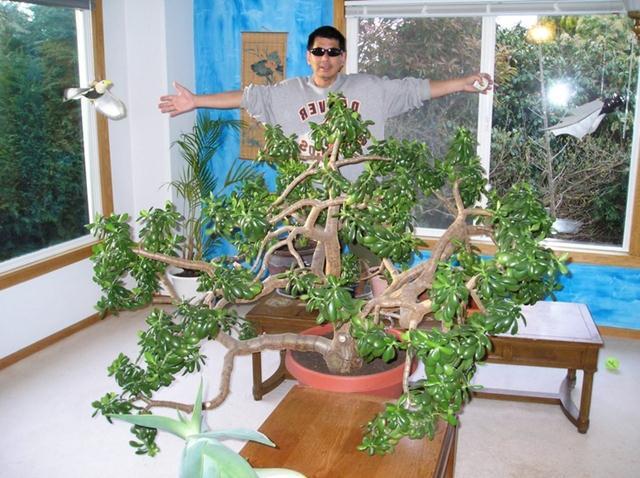 огромное комнатное растение денежное дерево