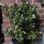 Комнатное растение денежное дерево цветение и уход в домашних условиях