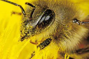 Чем полезна пыльца и как ее употреблять?